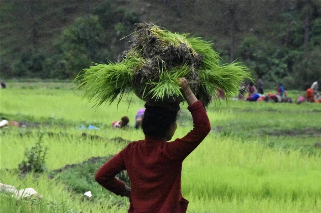 गांव वालों का दबाव काम आया, नहर में पहुंचा पानी, रोपाई शुरू