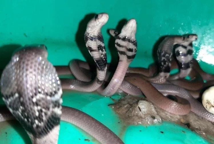 उत्तराखंड : जब दुकान के फर्श से निकले एक के बाद एक 15 कोबरा नाग, फैल गई दहशत और फिर…